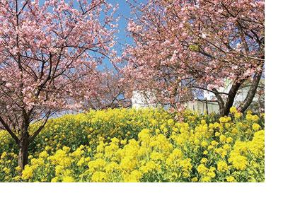 西平畑公園・河津桜