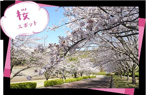 中井中央公園-桜